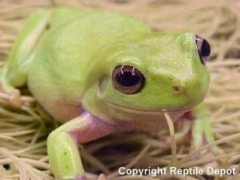 Dumpytreefrog